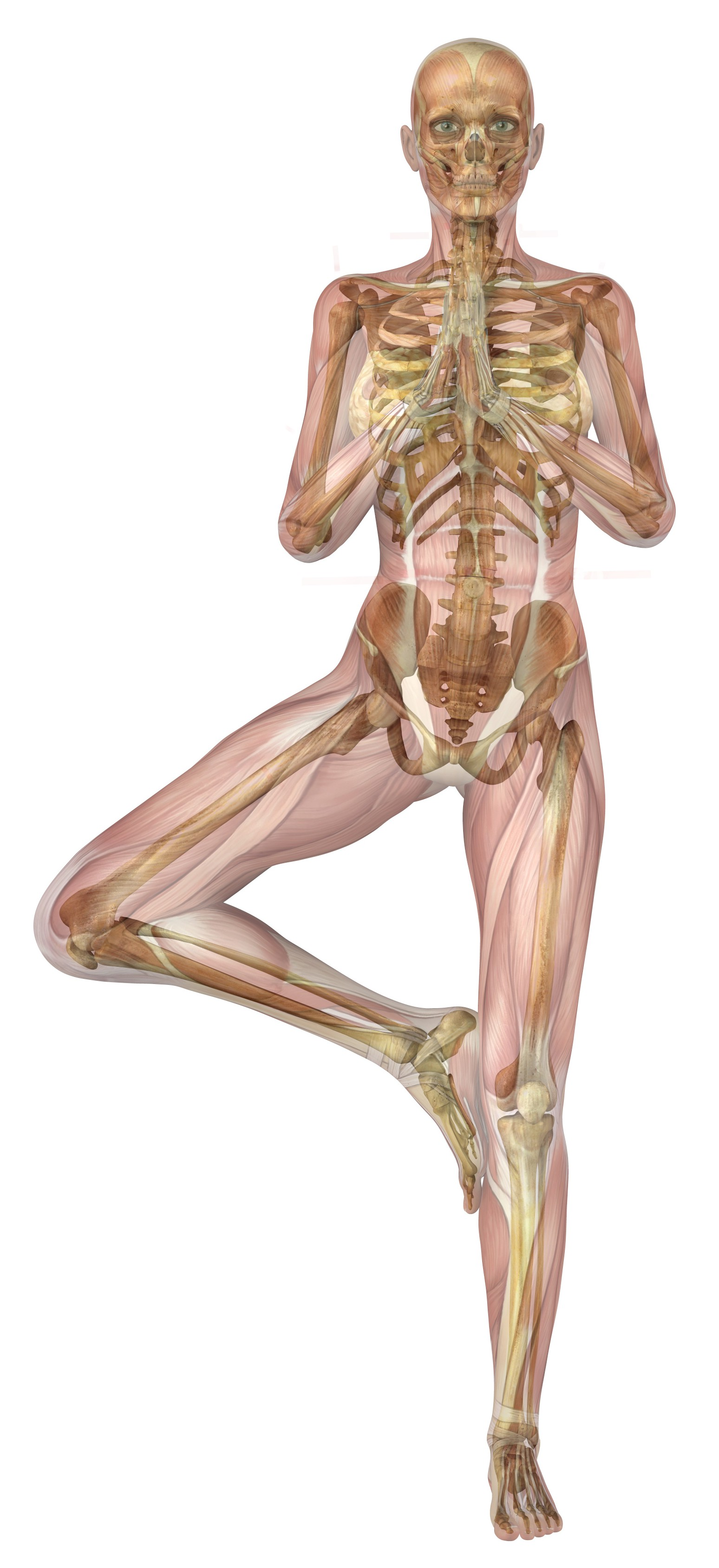 anatomy tree pose | Revolution Community Yoga of Acton & Westford, MA